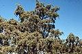 Juniperus oxycedrus. Imouzzer Hills. April 1972 (37707904286).jpg