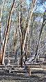 Kangaroo in Dryandra Woodland, Western Australia.jpg