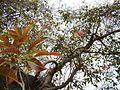 Karibasari (Kannada- ಕರಿಬಸರಿ) (8481156545).jpg