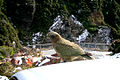 Kea (Nestor notabilis) -on a car -NZ-4c.jpg