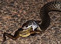 Keelback eating a Dahls Aquatic Frog (8692587008).jpg