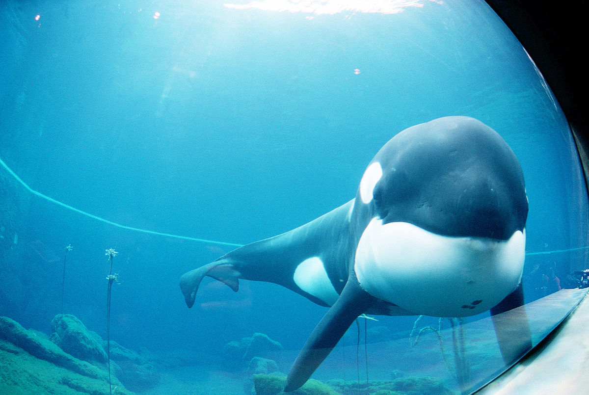 free willy orca