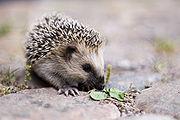 A Western European Hedgehog