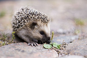 Young European hedgehog (Erinaceus europaeus).