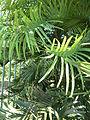 Kew Gardens Wollemi Pine P1170608.JPG