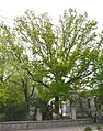 Kherson Petiolate Oak Soborna (Lenina) 18 01 (YDS 0165).jpg