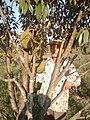 Khmer man standing behind durian tree.jpg