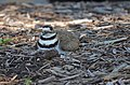Killdeer on nest (42817524531).jpg