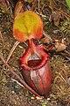 Kinabalu N. × kinabaluensis 6.JPG