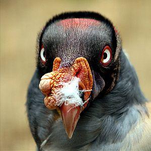 Rio Abiseo National Park - King vulture, Sarcoramphus papa