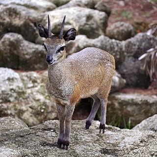 Klipspringer Species of mammal