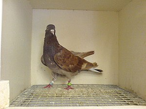 Domestic pigeon - Red Sheffield domestic homing pigeon