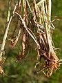 Koeleria macrantha (3811065115).jpg