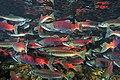Kokanee salmon.jpg