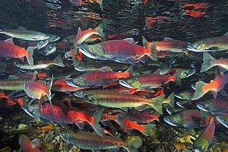 Kokanee salmon - Schooling in a stream near Lake Tahoe, California.