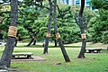 Komo-maki (straw mat wrapping) at Hama-rikyu (11975357286).jpg