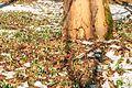 Kvetoucí sněženky v PP Sněženky ve Vysokém lese 23.jpg