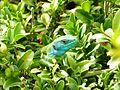 Lézard vert (Lacerta bilineata) - Labeil.jpeg