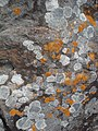 Líquens sobre rocha arenítica.jpg