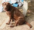 Labrador czekoladowy757.jpg