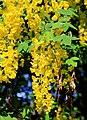 Laburnum alpinum Prague 2014 3.jpg