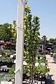 Laburnum anagyroides Columnaris 3zz.jpg