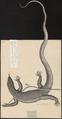 Lacerta longicauda - 1700-1880 - Print - Iconographia Zoologica - Special Collections University of Amsterdam - UBA01 IZ12500037.tif