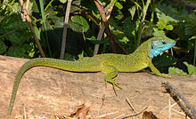 Lacerta viridis - male 01.JPG