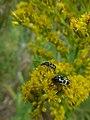 Ladybugs In Misiones Argentina (29626557).jpeg