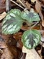 Lamium galeobdolon argentatum 108712326.jpg