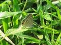 Lampides boeticus - Pea Blue at Aralam Wildlife sanctuary during Aralam butterfly survey 2020 (6).jpg