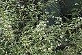Lantana achyranthifolia.jpg