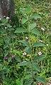 Lantana trifolia 3.jpg