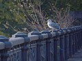 Laridae in the Tbilisi Metkori River- 07.jpg