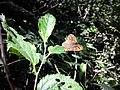 Lasiommata megera, parco colline moreniche Castiglione delle Stivere.jpg