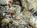 Lasius (Chtonolasius) sp. (orange) and Lasius fuliginosus (black).jpg