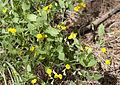 Lathyrus aphaca - Sarı burçak 01.jpg