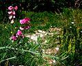 Lathyrus latifolius PID2053-1.jpg