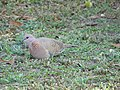 Laughing Dove Foraging 04.jpg