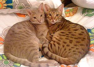 Charcoal Bengal Cat Uk