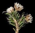 Laxmannia brachyphylla - Flickr - Kevin Thiele.jpg