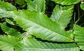 Leaf of Castanea sativa.jpg