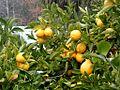 Lemon tree Berkeley closeup.jpg