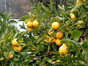 Lemon tree Berkeley closeup