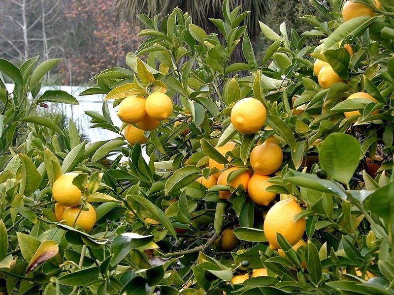 Αρχείο:Lemon tree Berkeley closeup.jpg