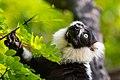 Lemur (26245060699).jpg