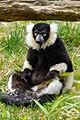 Lemur (26618790777).jpg