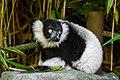 Lemur (36678662672).jpg