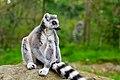 Lemur (37170421071).jpg