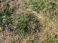 Leontodon saxatilis plant7 (14446409897).jpg